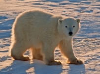 Polar bear cub of the year. Canadian Arctic